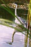 在水的野生伟大蓝色的苍鹭的巢与镜子作用 免版税图库摄影