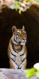 在洞的野生孟加拉老虎 印度 17 2010年bandhavgarh bandhavgarth地区大象印度madhya行军国家公园pradesh乘驾umaria 中央邦 免版税图库摄影
