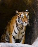 在洞的野生孟加拉老虎 印度 17 2010年bandhavgarh bandhavgarth地区大象印度madhya行军国家公园pradesh乘驾umaria 中央邦 库存照片