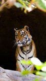 在洞的野生孟加拉老虎 印度 17 2010年bandhavgarh bandhavgarth地区大象印度madhya行军国家公园pradesh乘驾umaria 中央邦 免版税库存图片