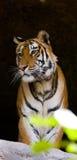 在洞的野生孟加拉老虎 印度 17 2010年bandhavgarh bandhavgarth地区大象印度madhya行军国家公园pradesh乘驾umaria 中央邦 库存图片