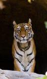 在洞的野生孟加拉老虎 印度 17 2010年bandhavgarh bandhavgarth地区大象印度madhya行军国家公园pradesh乘驾umaria 中央邦 图库摄影