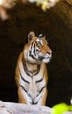 在洞的野生孟加拉老虎 印度 17 2010年bandhavgarh bandhavgarth地区大象印度madhya行军国家公园pradesh乘驾umaria 中央邦 免版税库存照片