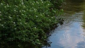 在水的野花 股票录像