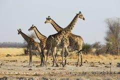 在水的长颈鹿家庭 库存图片