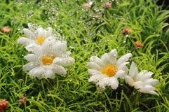 在水的雏菊下落 免版税库存照片