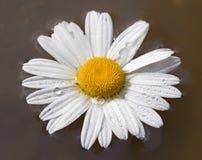在水的雏菊花 免版税库存照片