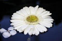 在水的雏菊 免版税库存照片