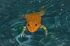 在水的青蛙 不显现表情的脸 免版税库存图片
