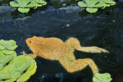 在水的青蛙 库存照片