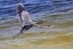 在水的飞行的伟大蓝色的苍鹭的巢 库存图片