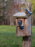 在他们的鸟舍的蓝鸫 免版税库存照片