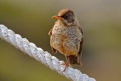 在绳索的鸟 福克兰鹅口疮,画眉类falcklandii falcklandii,肌力鸟用年轻人的食物,坐石头,在Th的动物 免版税库存照片