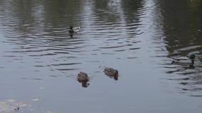 在水的鸭子在城市公园池塘 野鸭在湖 通配的鹅 在水的鸭子天 鸭子 影视素材