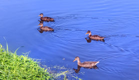 在水的鸭子 图库摄影