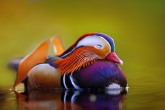 在水的鸳鸯漂浮和安静 免版税图库摄影