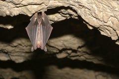 在洞的更加伟大的老鼠有耳的棒Myotis myotis 免版税库存照片