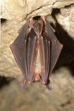 在洞的更加伟大的老鼠有耳的棒Myotis myotis 免版税库存图片