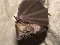 在洞的更加伟大的马蹄型蝙蝠Rhinolophus ferrumequinum 库存图片