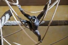 在绳索的猴子戏剧 库存图片