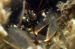 在他的洞的龙虾 免版税库存照片