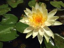 在水的黄色莲花和 免版税库存图片
