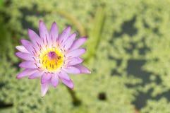 在浴的紫色莲花 库存照片
