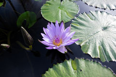 在水的紫色莲花 免版税库存图片