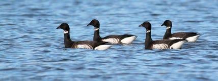 在水的黑雁 库存图片