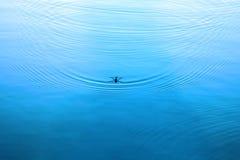 在水的水strider 在水表面的波纹 免版税库存图片