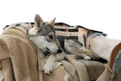 在他的chairm的狼狗 免版税图库摄影