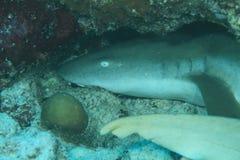 在洞的Whitetip鲨鱼 库存图片