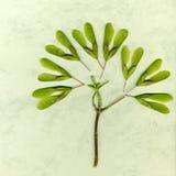 在绿皮书背景的槭树种子 免版税图库摄影