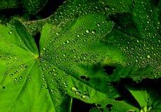 在水滴盖的充满活力的绿色橡木叶子 免版税库存照片