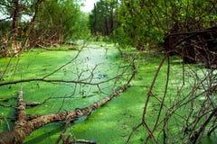 在绿藻类盖的沼泽 免版税库存图片