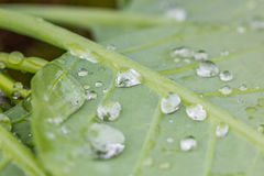在水滴盖的绿色叶子 库存图片