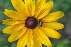 在黑眼睛的苏珊的甲虫 图库摄影