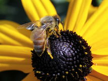 在黑眼睛的苏珊的蜂蜜蜂 免版税库存照片