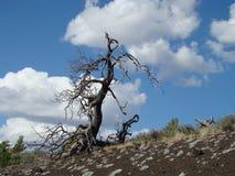 在轻石小山的死的干燥树 库存图片