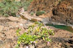 在索科特拉岛海岛上的绿洲旱谷Daerhu  免版税库存图片