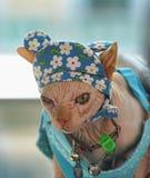 在滑稽的帽子的Sphynx猫 免版税库存图片