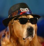 在滑稽的服装的金毛猎犬! 免版税图库摄影