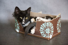 在组织箱子的滑稽的小猫 免版税库存照片