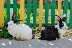 在黄绿篱芭和红色tul背景的两只逗人喜爱的兔子  免版税库存图片