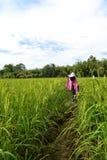 在稻米的稻草人 免版税库存照片