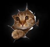 在黑纸孔的猫 为T恤杉设计合适 免版税图库摄影