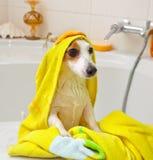 洗在浴缸的狗浴 免版税库存照片