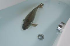 在浴缸的鲤鱼 免版税库存照片