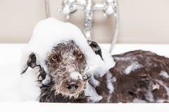 在浴缸的滑稽的不快乐的湿狗狗 免版税库存照片