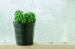 在黑罐的绿色玫瑰华饰多汁植物 免版税图库摄影